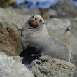 Stock Photo: Fur Seal