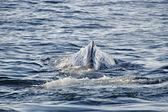Sperm Whale — Stock Photo