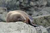Resting Fur Seal — Stock Photo