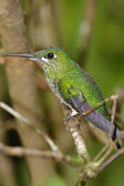 Resting Hummingbird — Stock Photo
