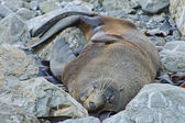 Seal Colony, Kaikoura Coast, New Zealand Summer 2011. — Stockfoto