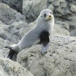 Juvenile Fur Seal — 图库照片