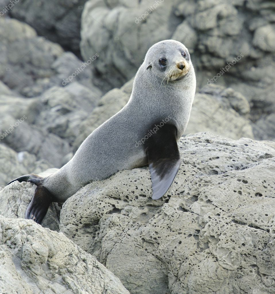 Juvenile fur seal on the lookout at the Kaikoura Coast, South Island, New Zealand. — Stock Photo #8407461