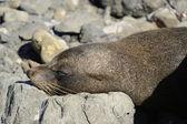 Seal Colony, Kaikoura Coast, New Zealand Summer 2011. — Stock Photo