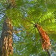 Stock Photo: Tree Fern