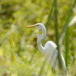 Stock Photo: Great Egret hiding between grass