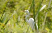 Great Egret hiding between the grass — Stock Photo