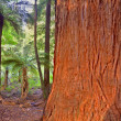 Stock Photo: Redwood Tree
