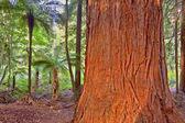 Redwood Tree — Stock Photo