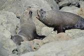 Fighting Fur Seals — Stock Photo