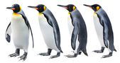 King Penguin — Foto de Stock