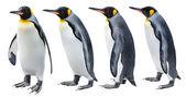 Re pinguino — Foto Stock