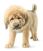 Tibetan mastiff puppy isolated on white — Stock Photo