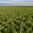 Alfalfa crop — Stock Photo