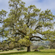 Oak tree — Stock Photo #10247428