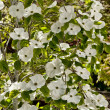 Dogwood - Stock Photo