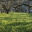 Oak trees - Photo