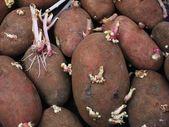 Sprouting potatoes. — Stock Photo