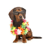Vacation dachshund — Stock Photo
