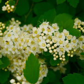 White Spiraea Flowers — 图库照片
