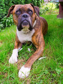 Chien boxer — Photo