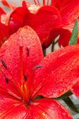 Beau lys rouge — Photo