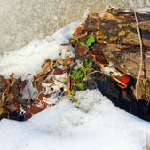 Old stump with mushrooms in winter — Стоковое фото