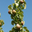 Part of a branch with plum — Stockfoto