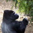 Silverback Gorilla — Stock Photo #9258219