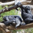 Stock Photo: Two chimpanzees