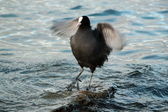 Coot duck shaking wings — Stock Photo