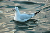 Seagull on water — Stock Photo
