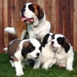 图库照片: Adorable Saint Bernard Pups