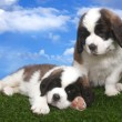 Adorable Saint Bernard Pups — Stock Photo