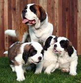 可爱的圣伯纳幼犬 — 图库照片
