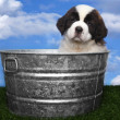 Adorable Saint Bernard Pups — Stock Photo #9939430