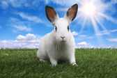 Rabbit on Serene Sunny Field Meadow in Spring — Stockfoto