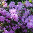 Stock Photo: Rhododendron