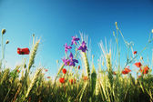 Summer wildflowers — Stock Photo