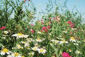 Summer meadow — Stockfoto