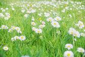 Daisy meadow — Stock Photo
