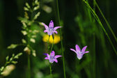 Bellflower meadow — Stock Photo