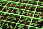 Petunia seedlings in the cell tray (soft focus, copy space) — Stock Photo