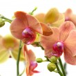 Coral Phalaenopsis orchid on white (soft focus) — Stock Photo