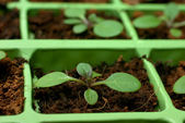 Petunia seedlings in the cell tray (shallow depth of field) — Stock Photo