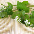 Fresh garlic mustard — Stock Photo