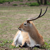 Waterbuck — Foto Stock
