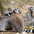 Stock Photo: Ring-tailed lemur with cub