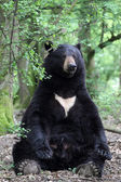 American black bear — Stock Photo