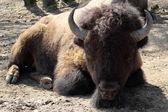 American bison, bison bison — Stock Photo